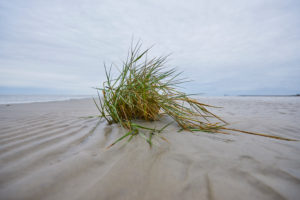 Beach grass (Ammophila) in winter at low tide, North Sea, Bremen