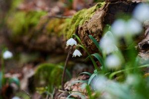 spring snowflake, Leucojum vernum, close-up
