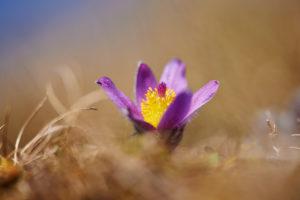 Pulsatilla vulgaris, flowering, meadow, common pasque flower