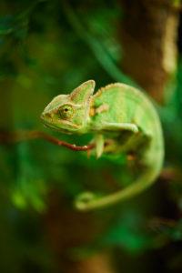 Yemen chameleon, Chamaeleo calyptratus, sideways, climbing,