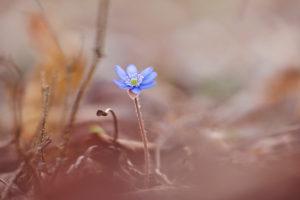 Hepatica, Hepatica nobilis, flower