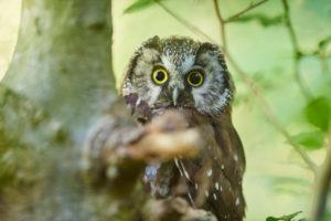 Tengmalm's owl, Aegolius funereus, branch, head-on, sitting