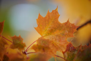 Norway maple, Acer platanoides, yellow, leaves, autumn, Germany
