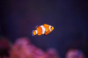 Orange clownfish or percula clownfish (Amphiprion percula), sideways, swimming