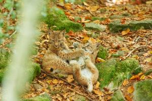 Eurasian lynx, Lynx lynx, play, Bavarian Forest, Bavaria, Germany, Europe, young animals, lynx lynx, Eurasian lynx