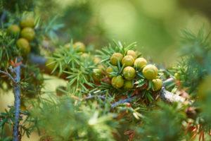 Common Juniper, Juniperus communis, fruits, mature, Cres, Croatia
