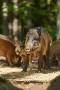 Wild boars, Sus scrofa, standing, sideways, full body shot, Bavarian Forest,