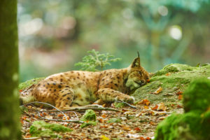 Eurasian Lynx, Lynx lynx, sidewaysly, lying, Bavarian Forest, Bavaria, Germany, Europe
