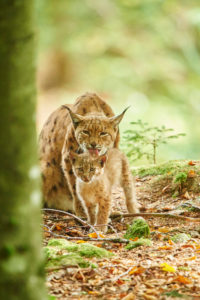 Eurasian Lynx, Lynx lynx, mother with young, Bavarian Forest, sitting, Bavaria, Germany, Europe
