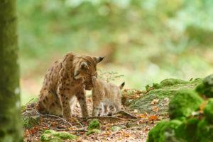Eurasian Lynx, Lynx lynx, mother with cub, Bavarian Forest, sitting, Bavaria, Germany, Europe