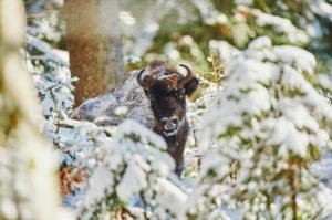 European bison (Bison bonasus) in winter, Bayernn Forest National Park, Bayern, Germany