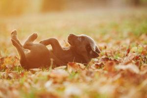Labrador retriever, puppy, lying, sideways, meadow, Germany
