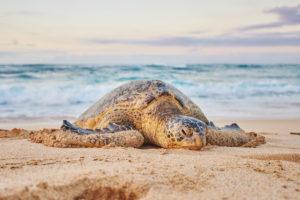 Green Turtle (Chelonia mydas) on Turtle Bay, Oahu Island, Oahu, Hawaii, Aloha State, USA