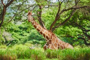 Reticulated giraffe, Giraffa camelopardalis reticulata, lying on the side
