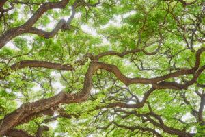 Mock acacia, black locust (Robinia pseudoacacia), tree, trunk, branches, Hawaii, Aloha State, United States