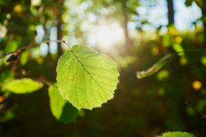 Hazelnut (Corylus avellana), leaf, autumn, Franconia, Bayern, Germany