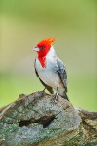 Gray Cardinal (Paroaria coronata), head-on, sitting, Hawaii, Aloha State, United States