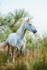 Camargue horse (Equus caballus), field, standing