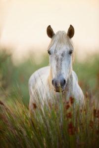 Camargue horse (Equus caballus), field, standing, looking camera
