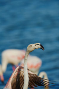 Greater flamingo (Phoenicopterus roseus), sea, standing