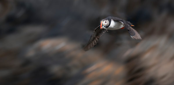 Atlantic Puffin with fish, Iceland