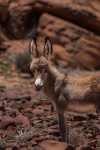 Portrait of a Donkey, Twyfelfontein Valley, Kunene Region, Namibia, Africa