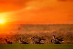 Geese at Sunset, Reykjavik, Iceland