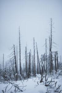 dead trees, at the Brocken (mountain), Schierke, Germany