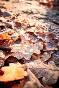 Wassertropfen auf braunen Eichenblättern, herbstliche Stimmung
