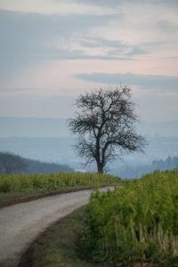 Baum an einem Feldweg, im Hintergrund die Schwäbische Alb.