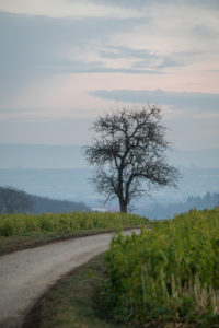Tree on a dirt road, in the background the Swabian Jura.