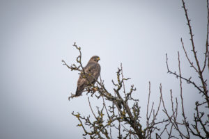 A common buzzard on a branch with gray background.