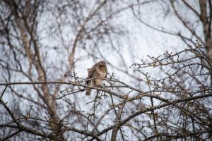 A common buzzard on a branch.