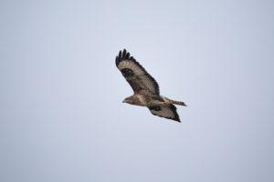 A buzzard in flight.