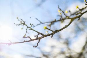 Grüne Knospen eines Baumes in der Sonne, blauer Himmel und unscharfe Äste im Hintergrund, März, astronomischer Frühling