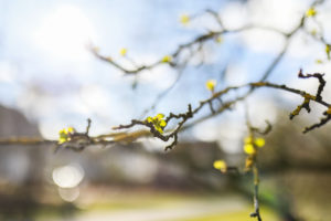 Green buds of a tree in the sun, blue sky and blurred branches in the background, March, astronomical spring