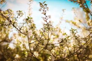 Baumblüten im blauen Himmel