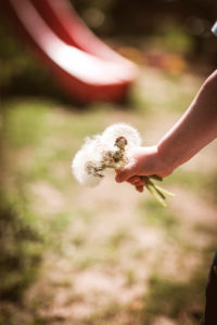A child's hand holds a bouquet of dandelions (dandelions)