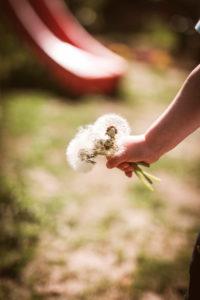 Eine Kinderhand hält einen Strauss Pusteblumen (Löwenzahn)