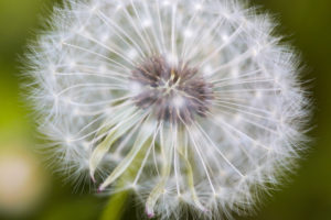 Macro shot of the seeds of a dandelion