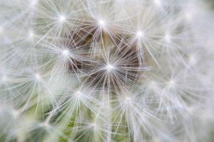 Makroaufnahme von den Samen (Schirmflieger) einer Pusteblume (Löwenzahn)