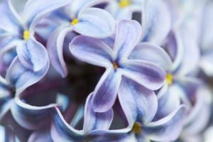 Makroaufnahme von blauen Blüten vom Flieder
