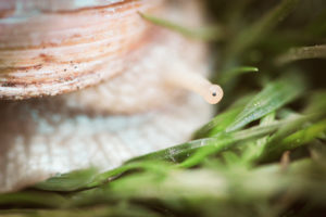 Detail of a snail. The focus is on the snail's eye.