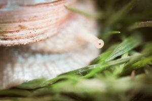 Detailaufnahme einer Weinbergschnecke. Im Fokus liegt das Auge der Weinbergschnecke.