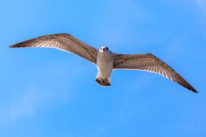 Gull, Black Sea coast, Bulgaria