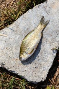 Crucian carp, Bulgaria.