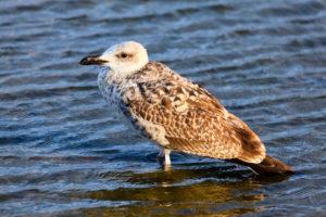 Young seagull, Bulgaria.