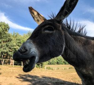 lachender Esel auf einer Weide