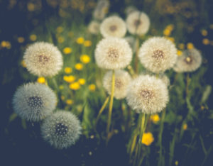 Dandelion seed heads in a meadow