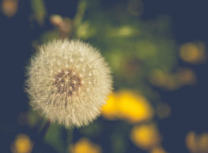 Dandelion seed head in a meadow